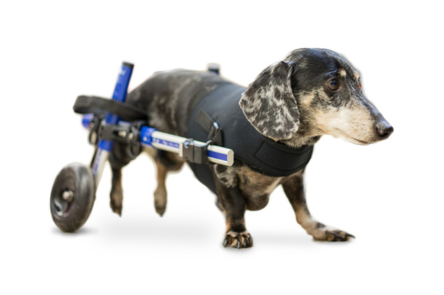 Gold Standards for Dog Spinal Surgery — Are They Really the Best for Your Pet?